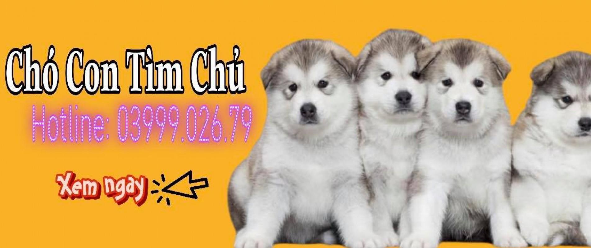 Mua bán các loại chó husky wooly, bán chó husky, bán chó wooly, bán chó alaska, bán chó golden retriever, khách sạn thú cưng, cafe thú cưng. 03999.026.79