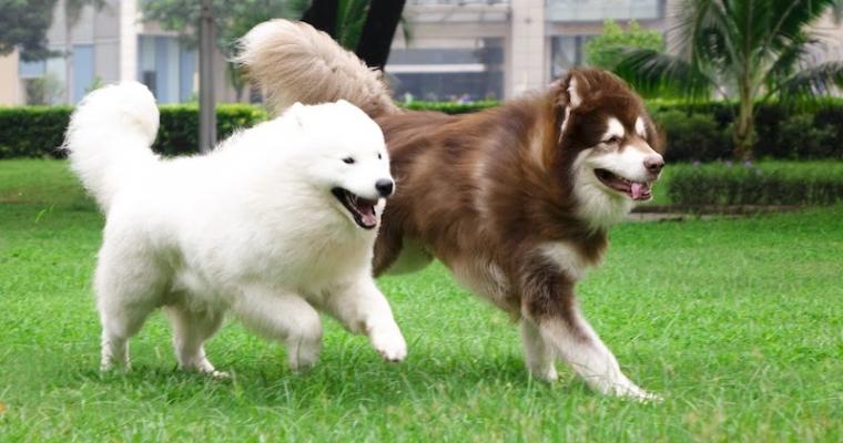 4 Llý do bạn nên mua chó Alaska về nuôi