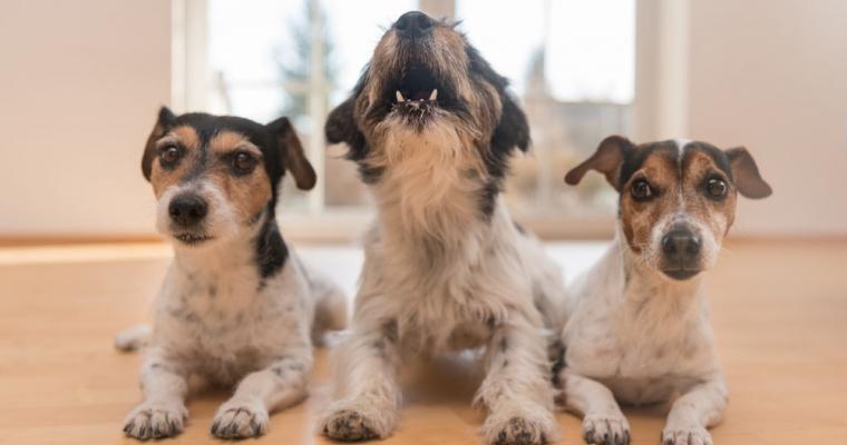 Cách dạy chó biết sủa