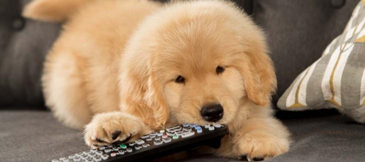Tại sao chó hay nhai gặm vật dụng trong nhà