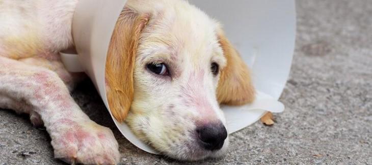 Cách sơ cứu và chữa trị vết thương cho chó
