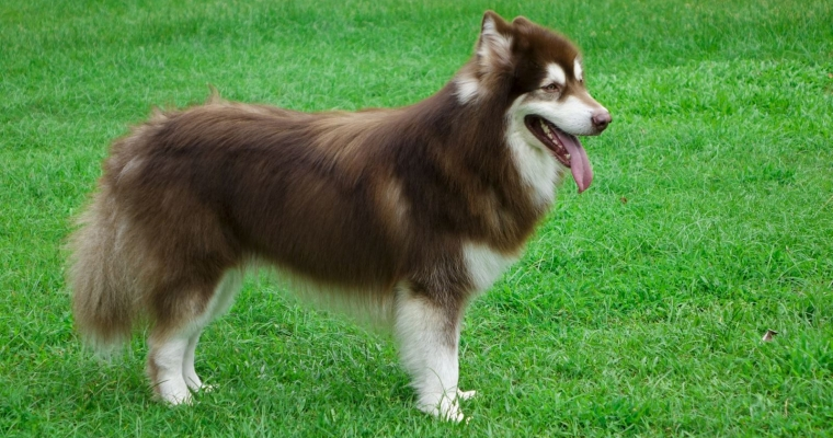 Chó Alaska màu nâu đỏ và những đặc điểm nổi bật