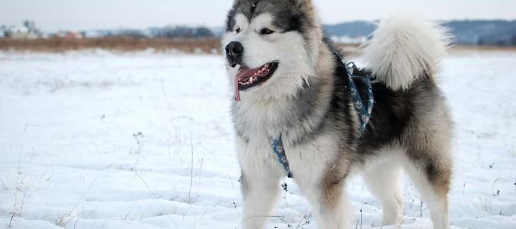 Chó Alaska thuần chủng có những đặc điểm gì?