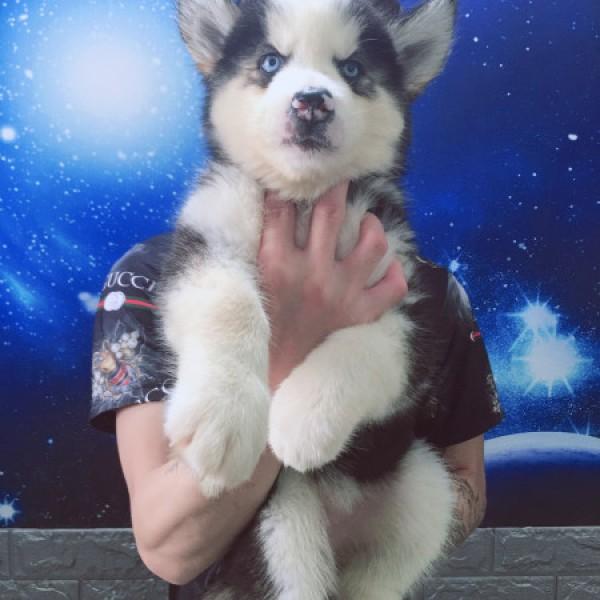 Husky đen trắng mắt xanh 02