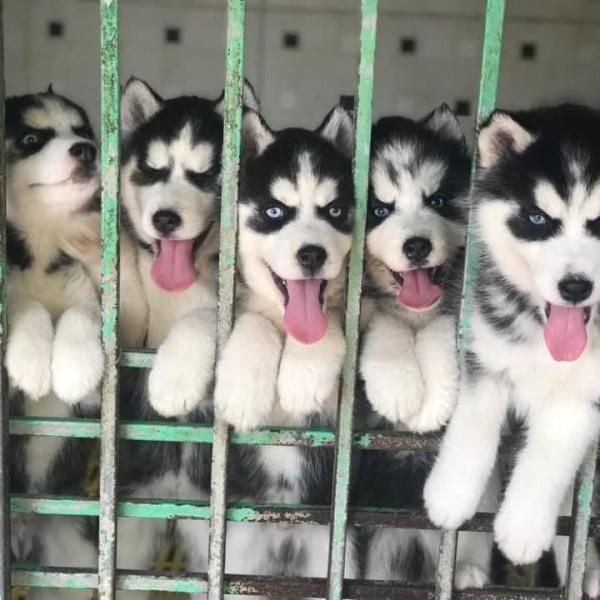 Husky đen trắng mắt xanh 04