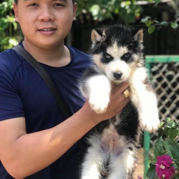 Husky Wooly đen trắng mắt xanh 01