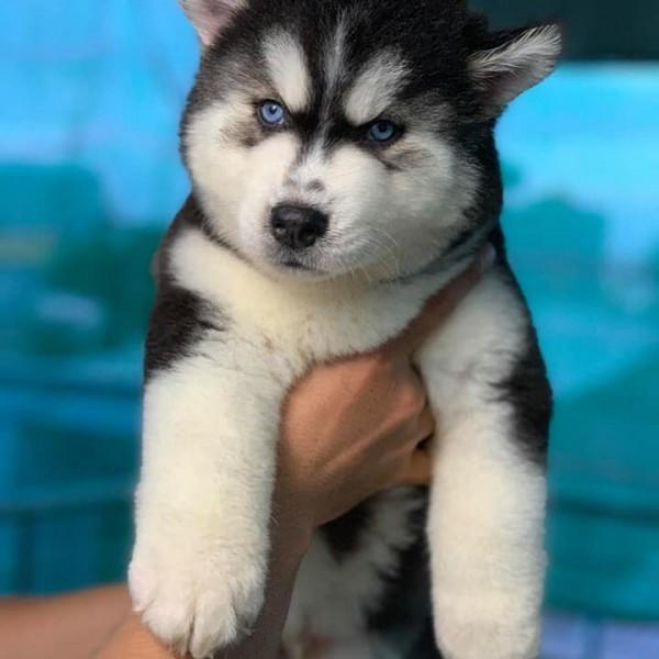 Husky Wooly đen trắng mắt xanh 02