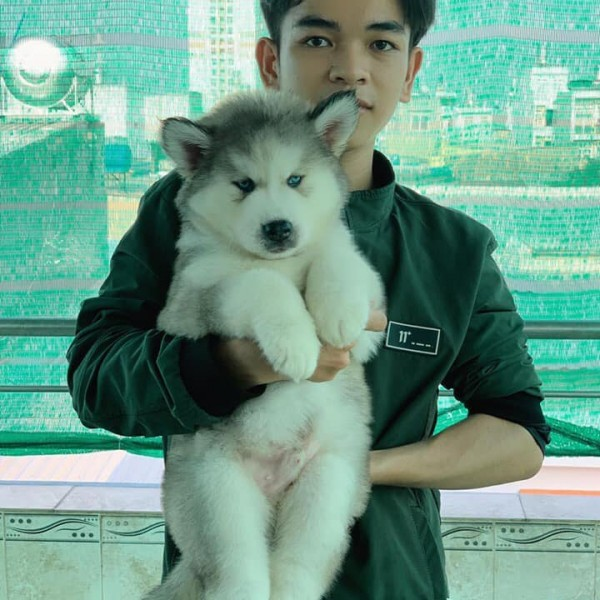 Husky Wooly xám trắng mắt xanh 03