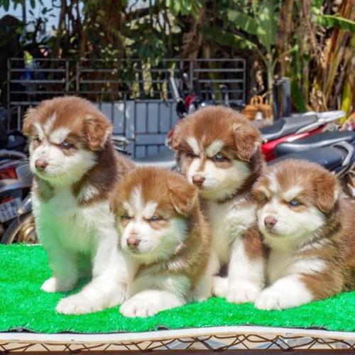 Husky Wooly nâu trắng mắt xanh 05