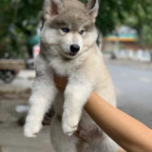 Husky Wooly xám trắng mắt xanh 05