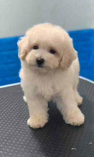 Poodle trắng thuần chủng 01