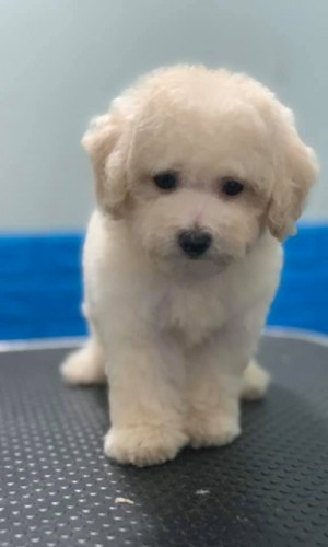 Poodle trắng thuần chủng 02