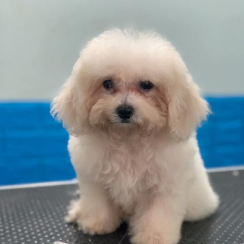 Poodle trắng thuần chủng 03